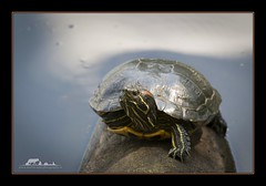 I can take you with one leg behind my back. (the_coprolite) Tags: red canada nikon bc turtle britishcolumbia sigma d750 slider coquitlam portcoquitlam eared hoycreek 150600mm