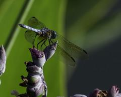 DragonFly_SAF3354 (sara97) Tags: copyright2016saraannefinke flyinginsect insect missouri nature outdoors photobysaraannefinke saintlouis towergrovepark urbanpark wildlife dragonfly mosquitohawk predator odonata