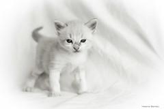 Buff (leporcia) Tags: animales animals cat cats chat chatterie gato gatos gatto gatito katze katzen kitty kitten felino feline blackandwhite blancoynegro bn bw beauty pet lovely adorable innocence