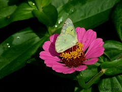 Clouded Sulphur (Picsnapper1212) Tags: cloudedsulphur sulphur butterfly insect animal nature zinnia pink green yellow plant flower garden