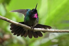 Heliangelus exortis (Wilmer Quiceno) Tags: heliangelusexortis tourmalinesunangel colibri hummingbird sanfelix baldias aves birds birding