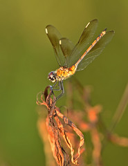 Day's Last Light Shines on a Lady (Stan in FL) Tags: fourspottedpennant odonata dragonflies dragonfly damselflies nikon nature wildlife sumter county florida fl tamron