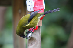 (Paul J's) Tags: wellington karori park ecosanctuary animal bird bellbird korimako zealandia