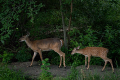 FamilyGuidance (jmishefske) Tags: d800e county milwaukee nikon park westallis greenfield wisconsin august fawn doe 2016 wildlife deer whitetail