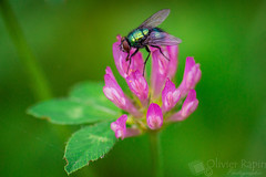 Mouche et petite fleur. (Olivier Rapin) Tags: sonyalpha77 tamron90mmmacro macro macrophotographie nature fleur flower trefle mouche vert violet