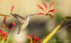 IMG_5375_edit_resized_wm (Lisa Snow Photography) Tags: annas hummingbird
