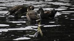 Moore Nature Reserve (joanjbberry) Tags: moorenaturereserve moore warrington birds wildlife water