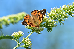 Painted Lady (Cynthia cardui) 240/366 Challenge (After-the-Rain) Tags: gilslandgarden 365challenge august2016 butterfly buddleia paintedlady cynthiacardui