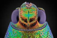113pics_61steps_F4,8_aporodagon_3zu1_HD (makrosucht) Tags: rodenstock apo rodagon balgen jewel beetle buprestidae nikon d7100 stackshot