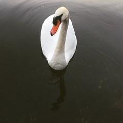 Beauty of the Lake (~~Doris~~) Tags: austria swan lake hallstatt nature summer schwan naturebird beauty beautiful