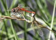 Apareamiento ( Sympetrum fonscolombii) (Esmerejon) Tags: apareamiento sympetrumfonscolombii odonatos liblulas insectos naturaleza