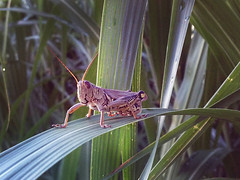 Wax on Wax off (Michelle Hyacinth) Tags: zen grasshopper wisdom life creatures