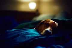 Sleepy Puppy (HeavenridgeFilms) Tags: sony a7rii zeiss 55mm f18 dog cute puppy beagle sleep sleeping cuddle bed good light indoors blanket