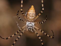 Female Argiope (elderkpope) Tags: spider spiders macro close canon utah nature outdoors