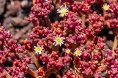 Vulcanic red - yellow flowers, Punta de Teno, Tenerife (Piotr Kowalski) Tags: tenerife teneryfa hiszpania espania spain island red fauna teno vulcanic garden macro