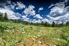 Where The Wildflowers Grow (Cathy Neth) Tags: 1424mm 2016inphotos 365photoproject 365project flowermoundphotographer flowermoundphotography forest sanjuannationalforest beautifullandscapes bluesky cathyneth cathynethphotography circularpolarizer cnethphotography colorado coloradolandscapes d810 landscape landscapephotography landscapes leefilters lookingup nature naturesbeauty nikon nikond810 pagosasprings pagosaspringscolorado pagosaspringslandscapes project365 rollingwhiteclouds treephotography trees whiteclouds whitepuffyclouds wildflowers