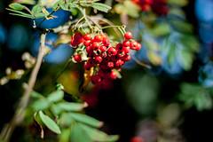 - rowan tree - (Janne Fairy) Tags: eberesche mehlbeeren rowan tree rowantree sorb green red grn rot canon canon500d eos500d schrfentiefe depthoffield