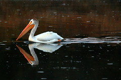Oxbow pelican (RPahre) Tags: oxbowbend pelican americanwhitepelican reflection snakeriver