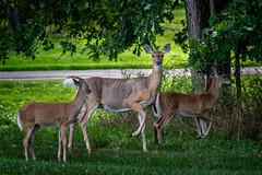 "Thump ""When..."" (Portraying Life) Tags: michigan unitedstates deer handheld closecrop nativelighting neighborhood"
