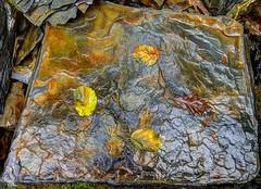 Skeleton Tree (pauldunn52) Tags: shale rock wet hazel leaves oak abstract brecon beacons wales