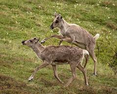 Playtime for juvenile Caribou (alicecahill) Tags: alaska usa wild wildlife denalinationalpark mammal nationalpark denali playful alicecahill caribou ungulate animal