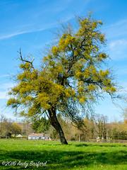 Mistletoe engulfs a fruit tree, the Nivre (serial_snapper) Tags: france mistletoe rpubliquefranaise landscape tree nivredpartement bourgognefranchecomtrgion ciez bourgognefranchecomt fr