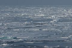 Harp seal group (Elvar H) Tags: arcticocean harpseal helmerhansen phocagroenlandica siarctic grnlandssel sealsampling vuselur
