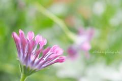 African Daisy (littlekiss) Tags: osteospermum africandaisy flower bokeh vandusenbotanicalgarden vancouver littlekissphotography