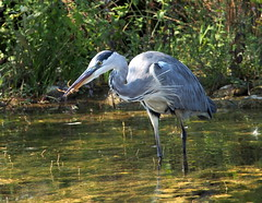 breakfast for the gray heron with a frog (quarzonero ...Aldo A...) Tags: grayheron frog breakfast nature rana aironecenerino coth sunrays5 coth5