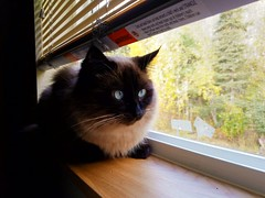My cat, Ash always loves to sit in the window and enjoy the morning breeze.  #cat #cats #kittens #siamese #sealpoint #pets #windowsill (DavidCJenkins Photography) Tags: windowsill siamese pets cats sealpoint kittens cat