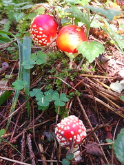 IMG_20160831_114450 (Alisa Jahary) Tags: nature forest mushroom mushrooms micology photo fly amanita agaric