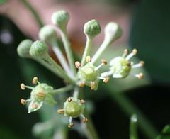 English Ivy Flowers (Invasive) (corey.raimond) Tags: englishivy flower flowers plant flora invasive seattle washington kirkland invasiveplant groundcover hedera hederahelix