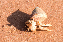 Hermit Crab, Roebuck Bay (Senator685) Tags: broome d810 nikon western australia hermit crab roebuck bay sigma 50mm