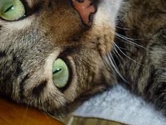 Mara ! (Mara 1) Tags: cat kitten pet animal tabby stripes face whiskers eyes indoors