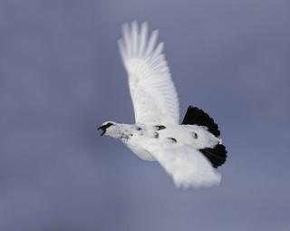 Flying Ptarmigan