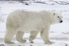 "Polar Bear in Churchill along the Hudson Bay. • <a style=""font-size:0.8em;"" href=""http://www.flickr.com/photos/92120860@N06/8454775520/"" target=""_blank"">View on Flickr</a>"