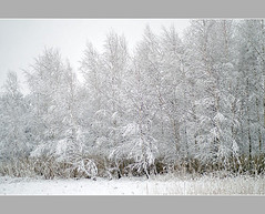Birch-trees (aka malec) Tags: trees winter sky white mountain snow cold tree ice grass fog clouds forest petals frost loneliness sam box joy poland polska dry petal willow same birch zima spruce birchtree nieg ld mrz trawa drzewo chmury niebo sucha brzoza rado biay samotno wierk zimno patki patek