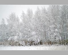 Birch-trees (aśka malec) Tags: trees winter sky white mountain snow cold tree ice grass fog clouds forest petals frost loneliness sam box joy poland polska dry petal willow same birch zima spruce birchtree śnieg lód mróz trawa drzewo chmury niebo sucha brzoza radość biały samotność świerk zimno płatki płatek