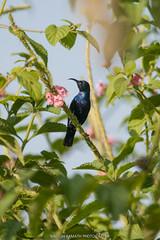 Purple Sunbird (Male) (Nagesh Kamath) Tags: india male bird birds weekend birding karnataka sunbird birdphotography purplesunbird shettihalli weekendtravels