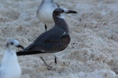 Larus atricilla (Laughing Gull) (Arthur Chapman) Tags: mexico cancun larus larusatricilla laughinggull atricilla taxonomy:class=aves taxonomy:kingdom=animalia taxonomy:phylum=chordata taxonomy:family=laridae taxonomy:genus=larus taxonomy:order=charadriiformes geo:country=mexico taxonomy:common=laughinggull taxonomy:binomial=larusatricilla geocode:method=gps geocode:accuracy=100meters