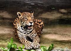 Ona pintada (Panthera onca) (nerifisio) Tags: me2youphotographylevel2 me2youphotographylevel1