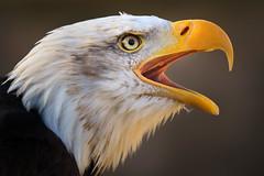 Vocalise (markrellison) Tags: detail yellow cheshire eagle iso400 baldeagle beak feathers calling f28 birdofprey gauntlet lightroom knutsford birdofpreycentre 11250sec lr4 165mm canoneos7d ef70200mmf28lisiiusm lightroom4