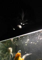 Night Fishing - EOS 60D/Carl Zeiss Jena 2.8/50 Tessar (TempusVolat) Tags: fish slr water tom night digital zeiss cat canon fur eos paw fishing feline tank goldfish pussy jena domestic fishtank carl whisker purr paws dslr puss canoneos pussycat gareth tempus pusscat tessar dolph dolf 2850 adolphus nightfishing 60d canon60d volat canoneos60d eos60d wonfor mrmorodo garethwonfor tempusvolat tempuvolat