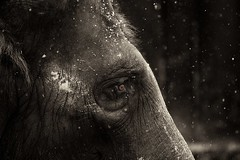 an elephant's tears (nimble.lynx) Tags: winter snow elephant eye face animals canon eos zoo mono switzerland photographer zurich monochromatic structure 7d flakes wrinkles 70200mm elephasmaximus boblima nimblelynx wwwnimblelynxch