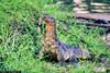 Large-Monitor-Lizard-Along-Lake-Shore-in-Bangkok-Thailand (Captain Kimo) Tags: thailand reptile bangkok monitorlizard singleexposurehdr captainkimo