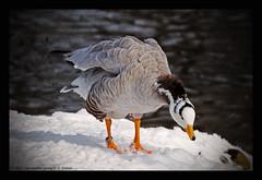 bar-headed goose V (xlod) Tags: park schnee snow bird nature water animal pond wasser natur goose gans teich tier vogel stadtpark erding barheadedgoose streifengans