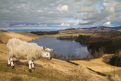 Sheep at Long Loch (Christian Hacker) Tags: winter sky eye wool animal rural canon walking outdoors eos march scotland countryside long sheep cloudy hiking snowy hill farming perthshire scenic scottish farmland hills craigs curious loch staring picturesque idyllic hooves sidlaws herding 50d sidlaw lundie kinpurney lundiecraigs longloch