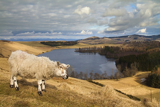 Sheep at Long Loch