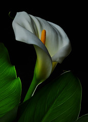 Calla Lilly - Another Look (Bill Gracey) Tags: lighting plant flower macro texture nature fleur blackbackground shadows flor shapes highcontrast textures fleurdelis naturalbeauty callalily softbox macrolens macrophotography darkbackground liriodeagua directionallight offcameraflash rimlighting strobist arodeetiopa honlsnoot callalilien flordelembudo yn560ii yongnuorf603n flowerthequietbeauty