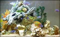 And now for something completely different (yooperann) Tags: blue fish chicago yellow shop keys shoe aquarium shine african stripes here made cichlids corals tropica pedway chicagoist